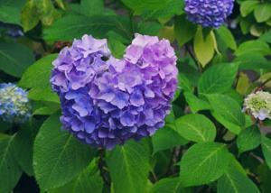 ハートの紫陽花