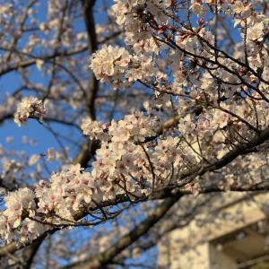 桜の季節に寄せて〜シベリアンハスキー