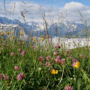 7月のユングフラウ・絶景ハイキングで出会った花々