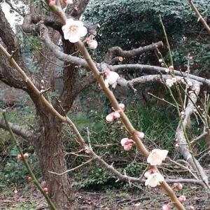 梅は咲いたか、桜はまだかいな