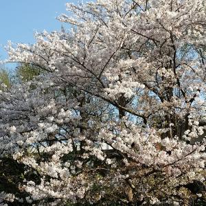 桜は頑張ってます!