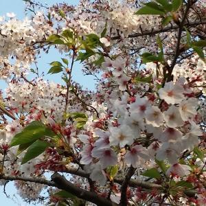 桜と家庭菜園