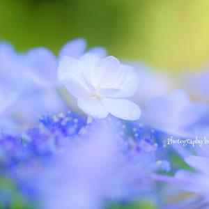 *紫陽花をマクロレンズで♪