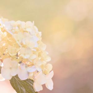 *紫陽花と世の中のこと( ⁎ᵕᴗᵕ⁎ )