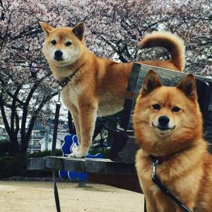 桜見物は思い立ったら吉日です(^_-)