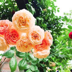 【薔薇の季節】アカオローズガーデンへ