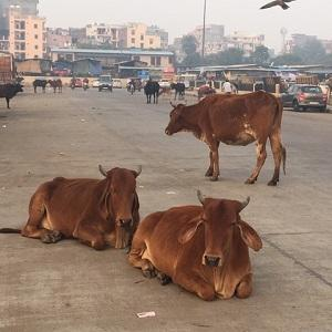 牛は今日も。