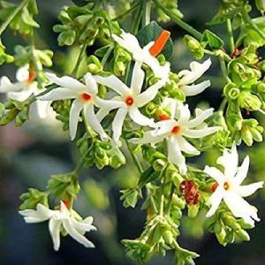アンロック4-22 秋のお祭りシーズンに咲く花:ハルシンガール