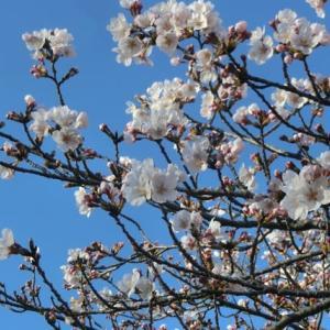 桜も見頃ですが