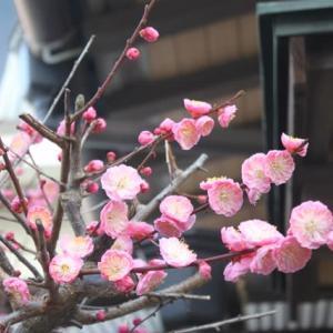 遅咲きの、我が家の梅