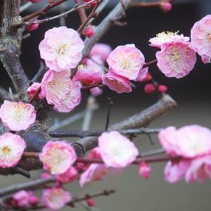 遅咲きの、我が家の梅‥②