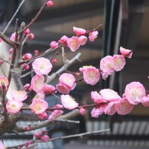 遅咲きの、我が家の梅‥④