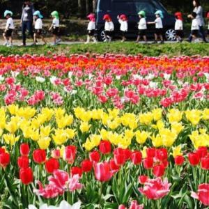 (^^♪ 咲いた咲いた、チューリップの花が・・・