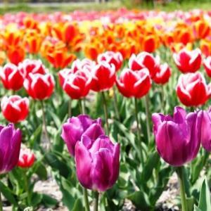 (^^♪ 咲いた咲いた、チューリップの花が・・・②