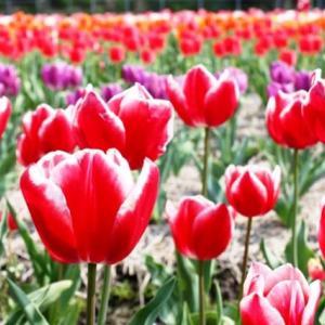(^^♪ 咲いた咲いた、チューリップの花が・・・③