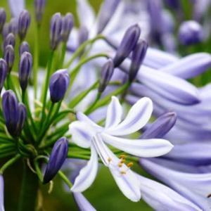 さわやかな涼感のある花‥②