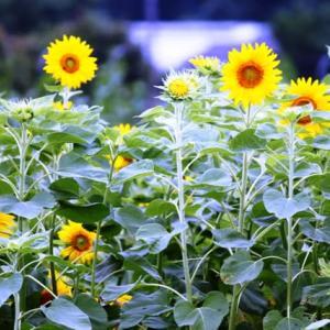 いよいよ、向日葵の季節