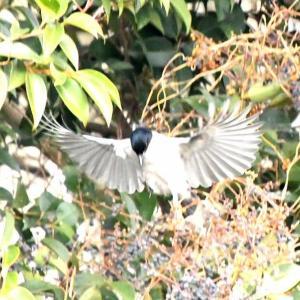 鳥見ウォーク オナガ