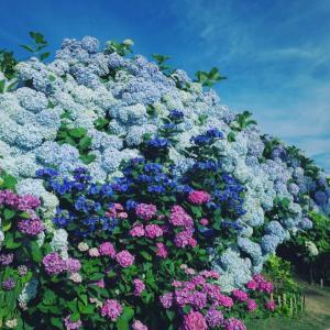 hydrangea season:紫陽花シーズン