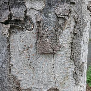 人面樹「内村光良」