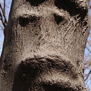 人面樹「藤竜也」