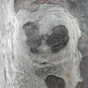 人面樹「コブクロ 黒田」