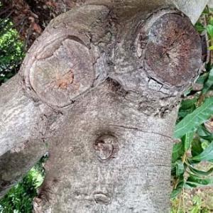 人面樹「ひょっこりはん」