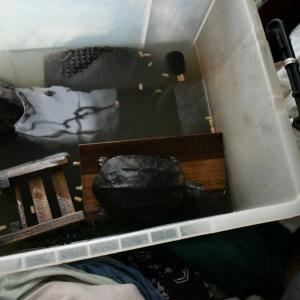 クサガメのクロ、逝去・・・x±x