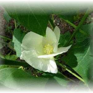 ◆ 綿の花が咲きました……◆