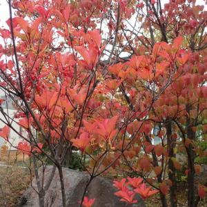 大型最強台風19号と我が家の庭の紅葉