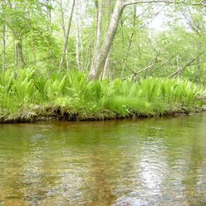 放流ニジマスのためオショロコマが消えた川で大型ヒグマと接近遭遇 その壱