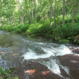 十勝川水系源流、旬のオショロコマ。