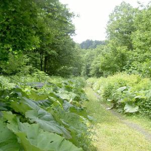 最奥の源流域に素晴らしいオショロコマの森