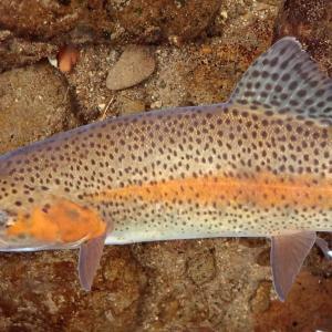 アメマスとニジマスが共存する渓流で早春の釣り。