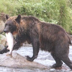 警戒をあざ笑うように5匹目の飼い犬ヒグマに喰われる。2019年 知床、羅臼町の 犬喰いクマその後 。