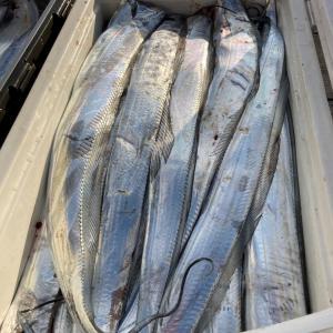 10月25日猛烈太刀魚‼️ 晴光丸‼️