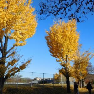 那珂川河畔公園の銀杏の黄葉の最も美しい風景です。