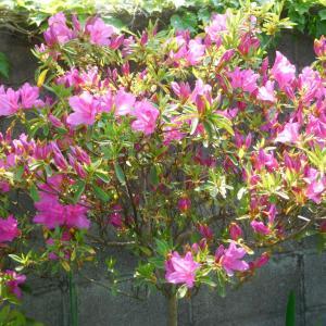 令和元年 5月20日 「なかがわ花遊園の花々」