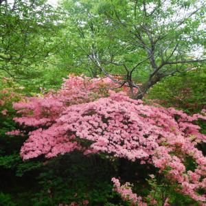 那須高原 八幡つつじ群生地南園にいってきました。