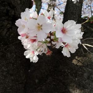 桜 さくら ソメイヨシノ