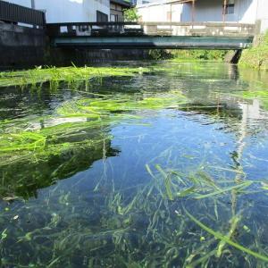 今年も「たらい流し」ができず残念だが、伸びる水草は刈らずにはいられない 田宿川の川そうじ