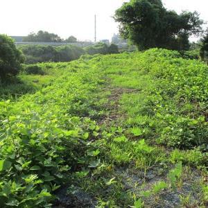 一瞬暑さも忘れた「ヘビとの遭遇」 ヒガンバナ開花に備えた滝川の草刈り開始