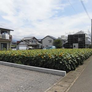 太陽に向けて大輪が咲き誇る!  津田の先輩・井出靖和さんのヒマワリ畑