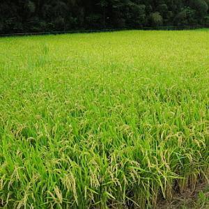 田んぼの草取りと種まき