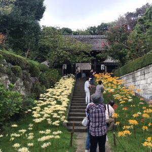横浜新羽町 西方寺へ 彼岸花を見に行ってきました