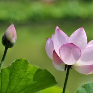 大 賀 蓮 の 花