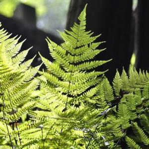 森 の 中 の シ ダ と 光 と 影