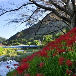 彼 岸 花 の 咲 く 郷