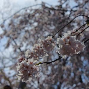2019 桜10