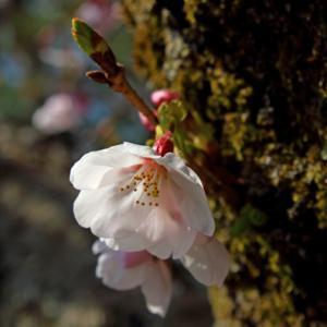 2019 桜11
